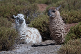 Chile  Andes Mountains  Tara Salt Lake Close Up of Llamas Resting