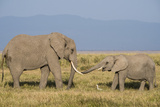 East Kenya  Amboseli National Park  Elephant (Loxodanta Africana)