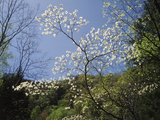 Tennessee  Great Smoky Mountains NP  Flowering Dogwood Trees (Cornus)