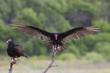 Turkey Vulture (Cathartes Aura) Landing  in Flight