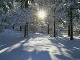 California  Cleveland NF  the Sunbeams Through Snow Covered Pine Trees