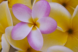 USA  Hawaii  Oahu  Plumeria Flowers in Bloom