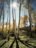 Utah  Autumn Colors of Aspen Trees (Populus Tremuloides) in the NF
