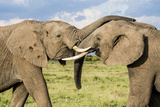 Kenya  Maasai Mara  Mara Triangle  Mara River Basin  African Elephant