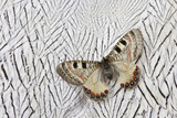 Apollo Butterfly on Silver Pheasant Feather Pattern