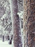 California  Cleveland NF  Acorn Holes on a Ponderosa Pine Tree