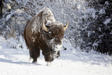 Wapiti, Wyoming. Usa. Bison Walking in the Snow Papier Photo par Janet Muir