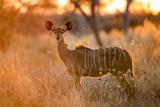 Botswana, Chobe NP, Greater Kudu Standing in Savuti Marsh at Sunrise Papier Photo par Paul Souders