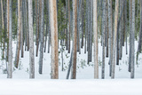 USA  Wyoming  Yellowstone NP  Lodgepole Pine Forest in the Winter