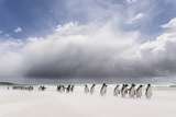 Falkland Islands King Penguins Watch as a Storm Approaches