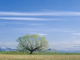 Utah USA Willow Tree and Cirrus Clouds in Spring Cache Valley