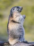 Alpine Marmot in the Hohe Tauern  Mount Grossglockner Austria