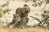 Namibia  Damaraland  Palwag Concession Three Lions Resting