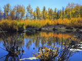 Utah USA Willows and Aspens in Autumn at Beaver Pond in Logan Canyon