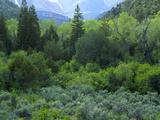 Goshute Canyon  Nevada Riparian Vegetation in Canyon of Goshute Creek