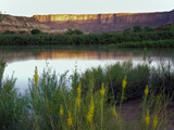Canyonlands NP  Utah Prince's Plume in Bloom Along Green River  Dawn