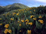 Utah Mule's Ears in Bloom in Foothills of Oquirrh Mountains