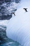 Antarctica Adelie Penguins Jump of an Iceberg