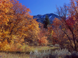 Utah Bigtooth Maples in Autumn Below Logan Peak Uinta-Wasatch-Cache