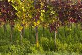 Germany  Baden-Wurttemberg  Endingen  Vineyards  Dawn  Autumn