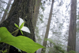 Trillium  Lady Bird Johnson Grove  Prairie Creek Redwoods  California