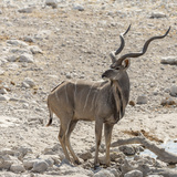 Namibia  Etosha National Park Male Kudu