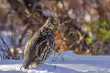 Male Ruffed Grouse (Bonasa Umbellus) in Winter in Glacier NP  Montana