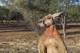 Australia  Alice Springs the Kangaroo Sanctuary  Large Male Kangaroo