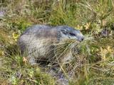 Alpine Marmot Gathering Grass for Hibernation  Hohe Tauern Austria