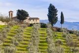 Olive Groves  Cercina  Firenze Province  Firenze  Tuscany  Italy