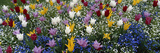 Canada  British Columbia  Victoria  View of Tulips Flowerbed