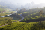 Tea Plantations  Munnar  Western Ghats  Kerala  South India