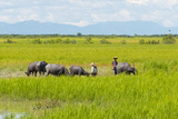 Farmer Herding Water Buffalo by the Kaladan River  Rakhine  Myanmar