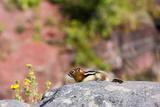 Canada  Alberta  Waterton Lakes NP  Golden Mantled Ground Squirrel