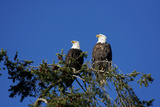 Bald Eagles Roosting in a Fir Tree in British Columbia