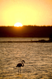 Caribbean  Netherlands Antilles Flamingo in Gotomeer Lake at Sunset