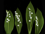 Lily of the Valley Study