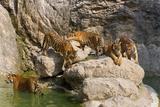 Indochinese Tiger or Corbett's Tiger  Thailand