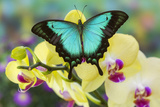 Sea Green Swallowtail Butterfly, Papilio Lorquinianus Reproduction photo par Darrell Gulin