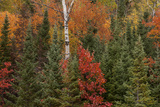 Michigan  Upper Peninsula Evergreens and Red Maple Trees in Autumn