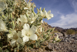 Rock Nettle in Bloom  Death Valley National Park  California