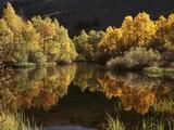 California  Sierra Nevada  Autumn Aspen Trees Reflecting in Rush Creek