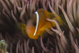 Fiji Anemone Fish Sheltering in Host Anemone for Protection  Fiji