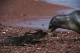 Galapagos Sea Lion Mom and New Pup, Rabida Island, Galapagos, Ecuador Papier Photo par Pete Oxford