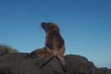 Galapagos Sea Lion Pup, Galapagos, Ecuador Papier Photo par Pete Oxford