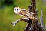 A Barn Owl (Tyto Alba) Perching