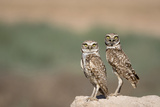 USA  Arizona  Buckeye a Pair of Burrowing Owls