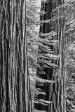 USA  California  Yosemite NP Sequoia Trees in the Mariposa Grove