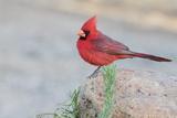 USA  Arizona  Amado Male Northern Cardinal Perched on Rock