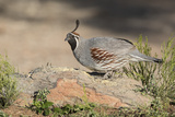 USA  Arizona  Amado Male Gambel's Quail Perched on a Rock